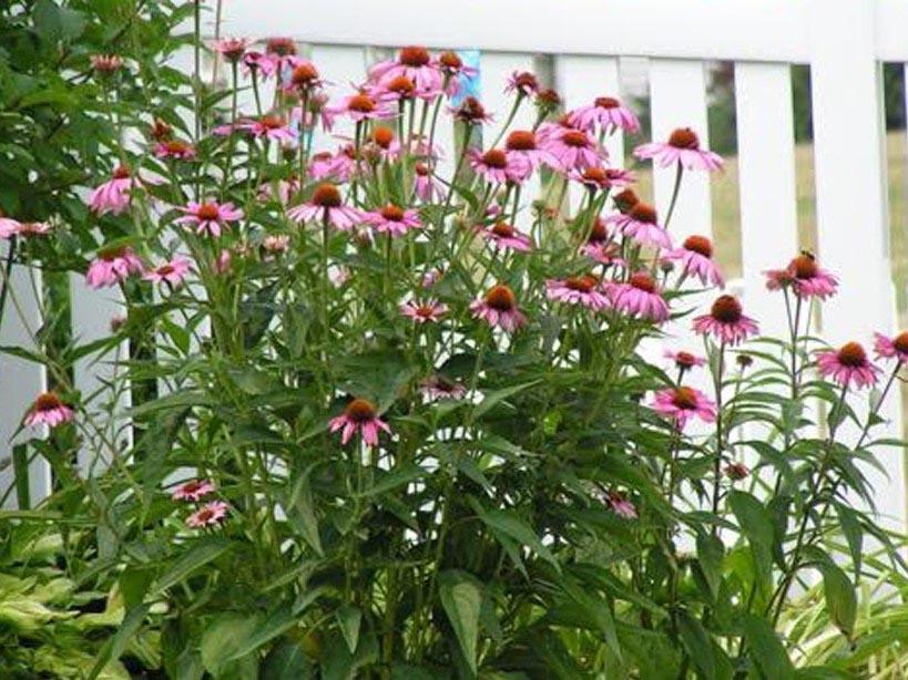 Long Blooming Perennials for Shade