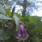 Angel Trumpet Flower Plant