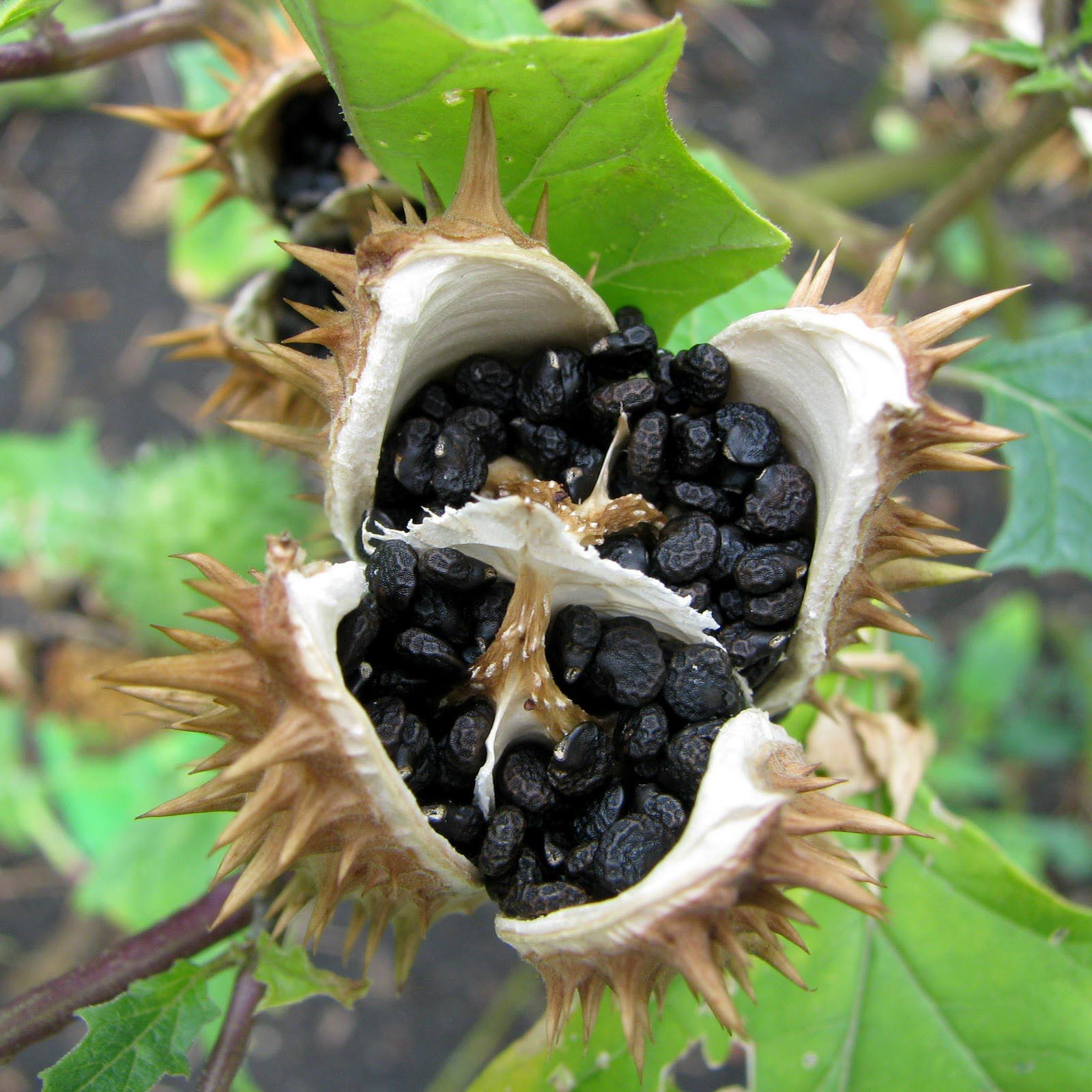 Angel Trumpet Flower Seeds