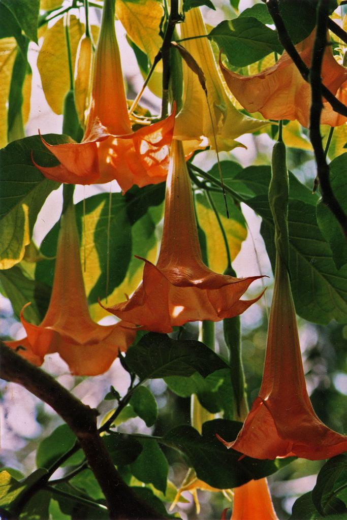 Angel Trumpet Flower Side Effects