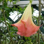Angel's Trumpet Flower Essence