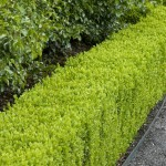 Best Low Maintenance Hedge Plants