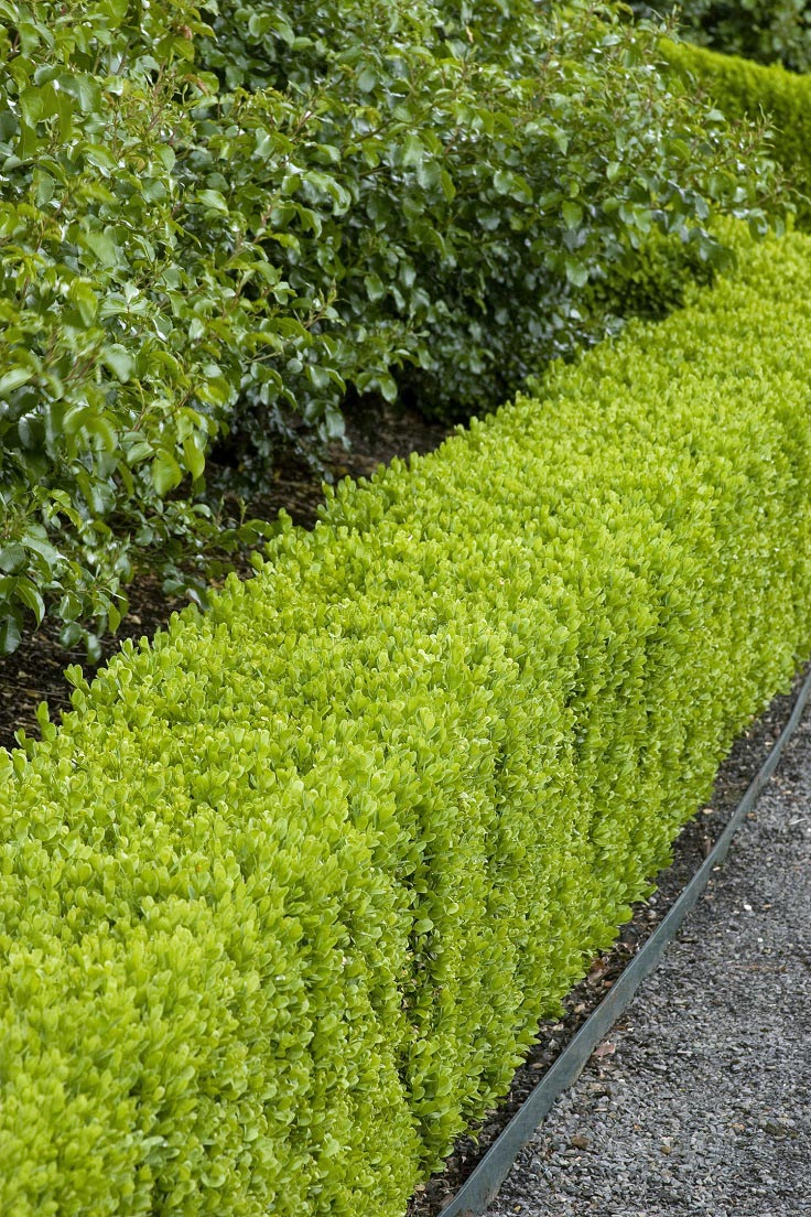 Best low maintenance hedge plants garden design ideas for Low maintenance plants and shrubs