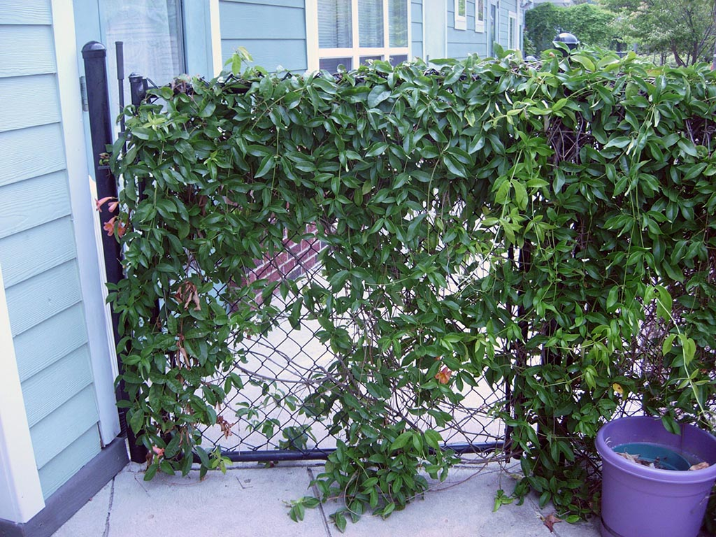 Chain Link Fence Vegetable Garden