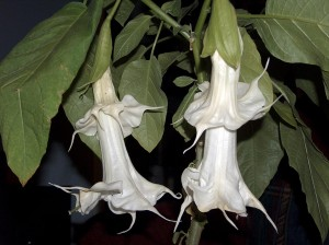 Double Angel Trumpet Flower