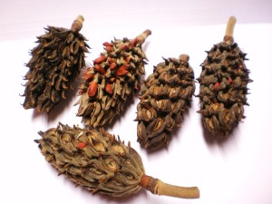 Dried Seed Pods for Flower Arrangements