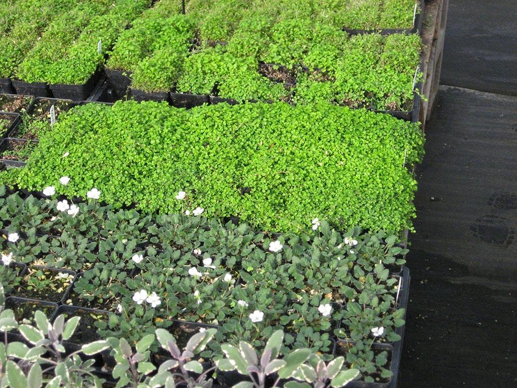 Fairy Garden Plant Seeds