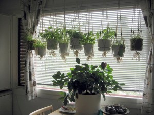 Herb Garden in Window