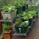 Herbs for Garden Pots