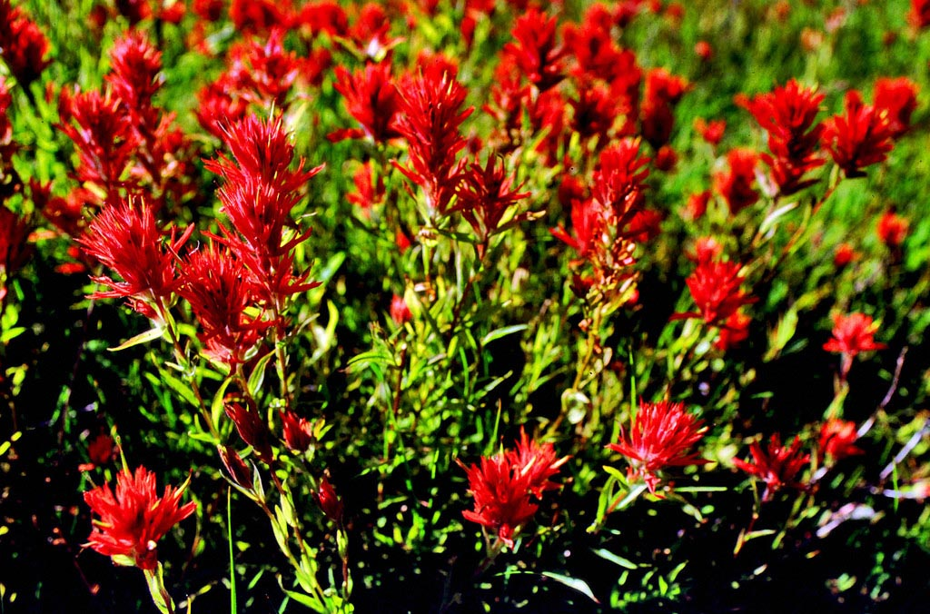 Indian Paintbrush Flower Facts