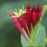 Indian Paintbrush Flower Seeds