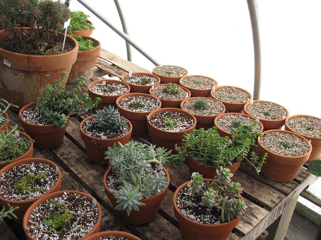 Live Fairy Garden Plants