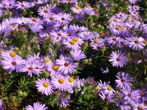 Long Blooming Blue Perennials