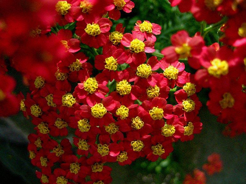 Long Blooming Perennial Plants