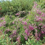 Long Blooming Perennial Shrubs