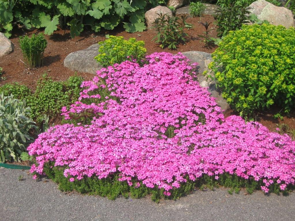 Long Blooming Perennials Zone 6