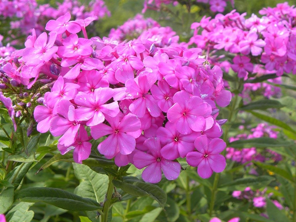 Long Lasting Blooms Perennials