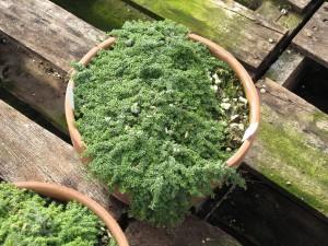 Mini Plants for Fairy Gardens