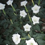 Moon Flower Angel Trumpet