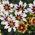 Perennial Flowers with Long Bloom Time