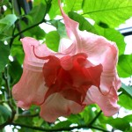 Pink Angel Trumpet Flower