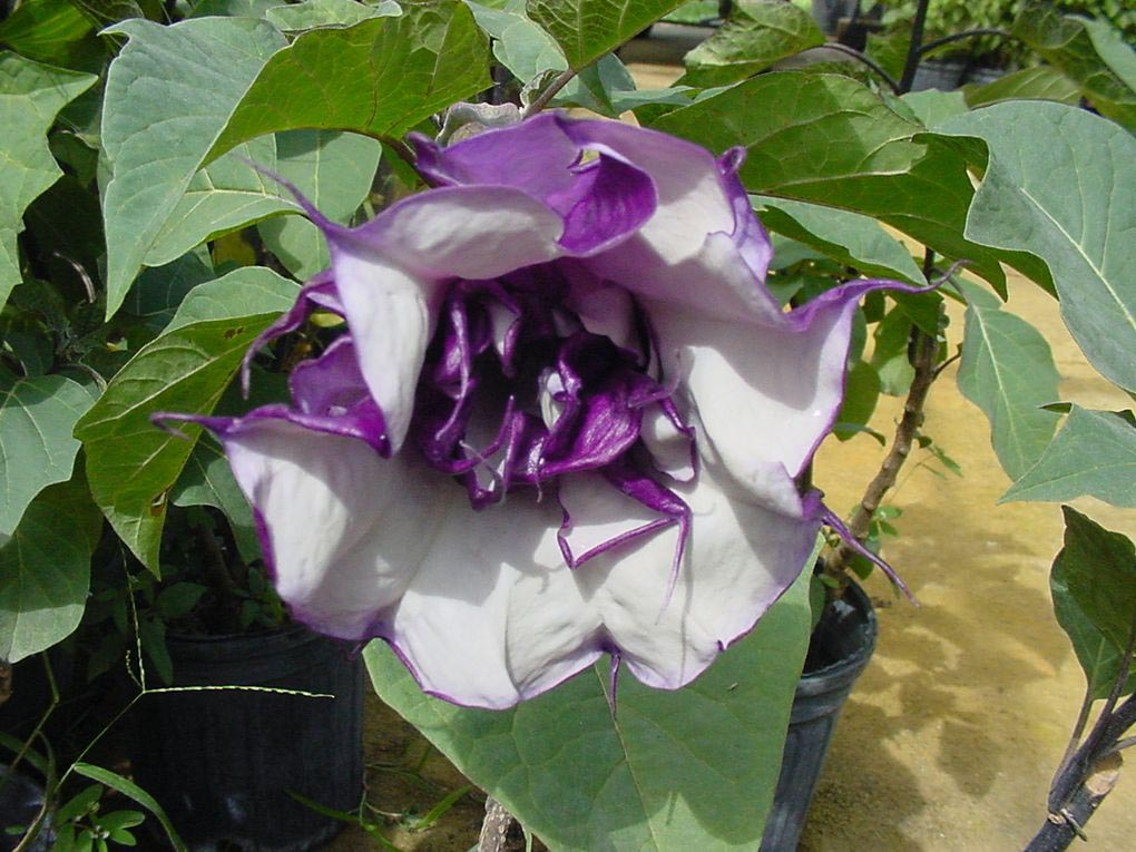 Purple Angel Trumpet Flower
