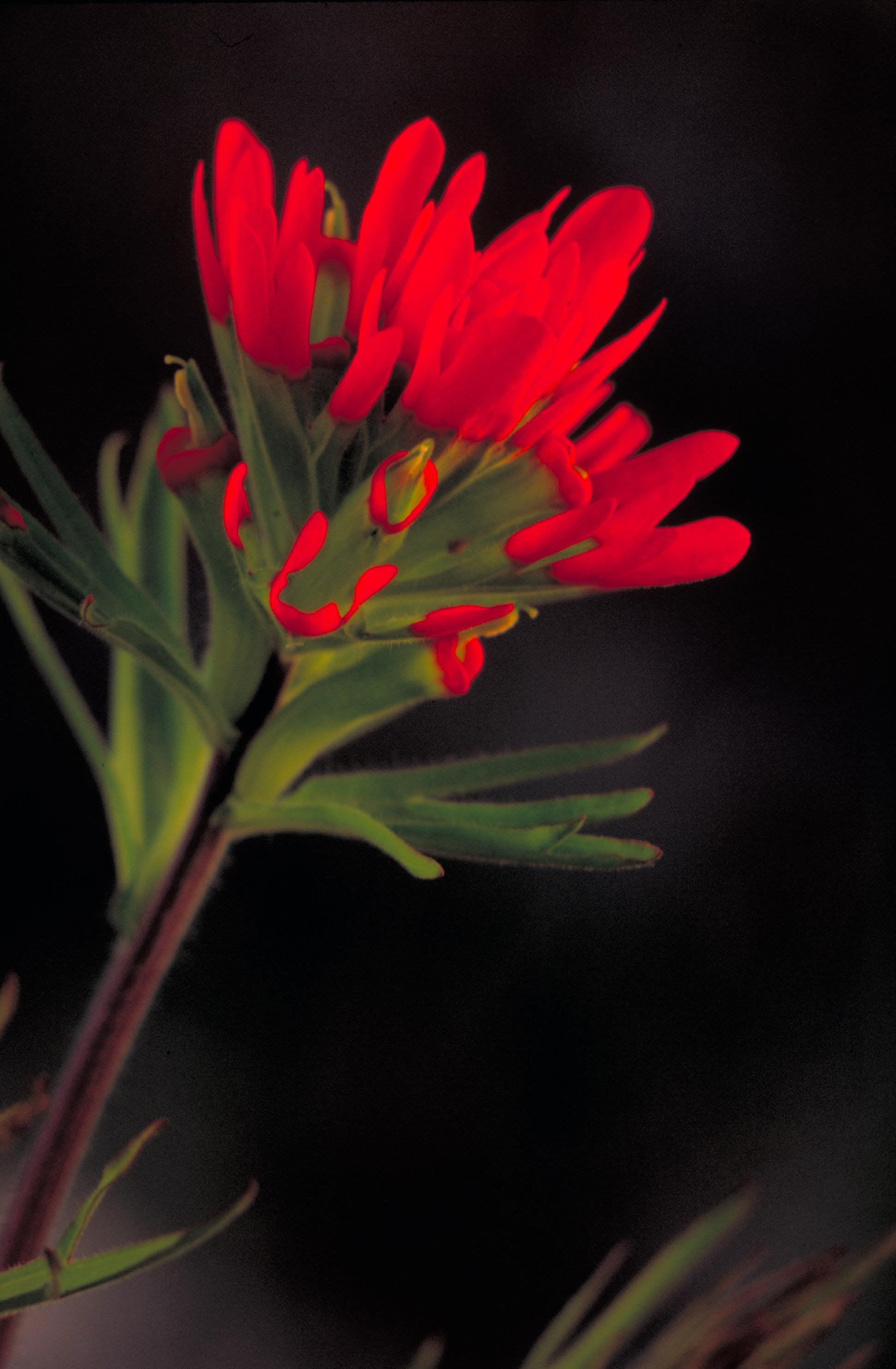 Red Indian Paintbrush Flower