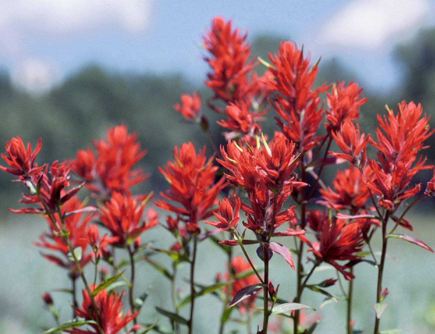 State Flower of Wyoming Indian Paintbrush