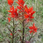 The Indian Paintbrush Flower