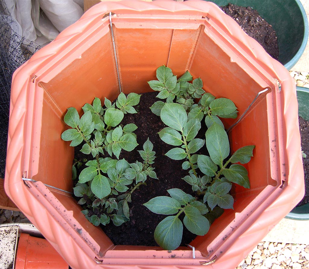 Wooden Potato Barrel Planter