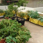 Balcony Vegetable Garden Bangalore