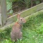 Chicken Wire VS Rabbit Fencing for Garden