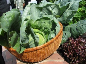 Organic Vegetable Plants for Garden