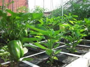 Planting a Patio Vegetable Garden