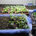 Tips for Indoor Vegetable Gardening