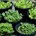 Vegetable Gardening in Containers for Beginners