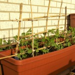 Vegetable Gardening on a Patio